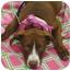 Photo 1 - American Staffordshire Terrier/Labrador Retriever Mix Puppy for adoption in Sacramento, California - Buttercup cute