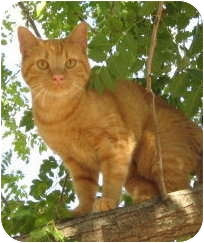 Domestic Shorthair Cat for adoption in Stillwater, Oklahoma - Cowgirl