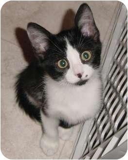 Domestic Shorthair Kitten for adoption in DeKalb, Illinois - Landon