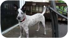 Australian Cattle Dog Dog for adoption in Nokomis, Florida - Delilah