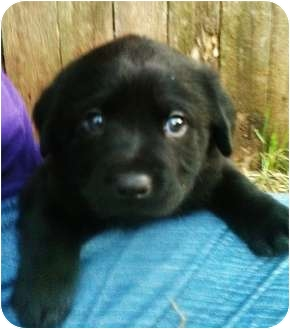 Border Collie Mix Puppy for adoption in White Settlement, Texas - Grace-adopted