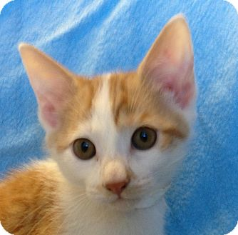 Domestic Shorthair Kitten for adoption in South Haven, Michigan - Tim