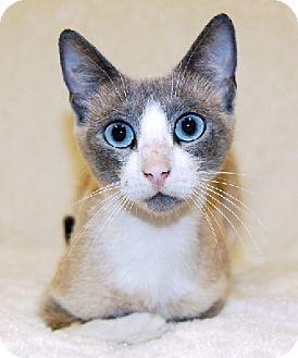 Snowshoe Cat for adoption in Aurora, Indiana - Violet-PENDING ADOPTION