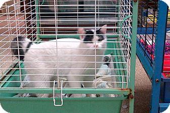 American Shorthair Cat for adoption in Walnut, Iowa - Franklin