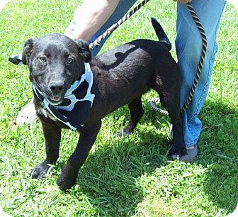 Labrador Retriever Mix Puppy for adoption in Glastonbury, Connecticut - JETT/Mem Day Special Price