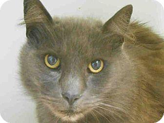 Russian Blue Cat for adoption in Brea, California - BARNABUS