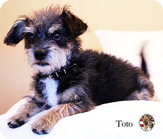 Cairn Terrier/Terrier (Unknown Type, Small) Mix Dog for adoption in Encino, California - Toto