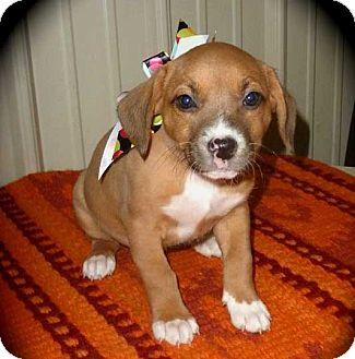 Beagle Mix Puppy for adoption in Salem, New Hampshire - PUPPY MARLI