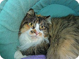 Calico Cat for adoption in Carmel, New York - Cassie Mae