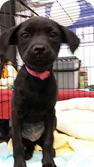Labrador Retriever Mix Puppy for adoption in Waldorf, Maryland - Rose
