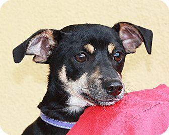 Dachshund Mix Puppy for adoption in Berkeley, California - Chocolata