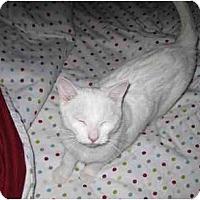 Adopt A Pet :: Snowball - Montreal, QC