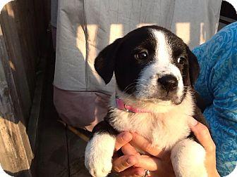 Labrador Retriever/Collie Mix Puppy for adoption in North Brunswick, New Jersey - Violet