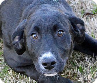 Labrador Retriever/Shepherd (Unknown Type) Mix Puppy for adoption in Searcy, Arkansas - Betty