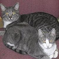Domestic Shorthair Cat for adoption in Eureka Springs, Arkansas - Suki