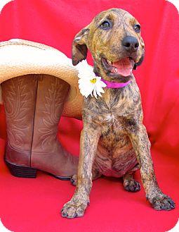 Boxer/Vizsla Mix Puppy for adoption in Irvine, California - Maryville