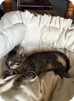 Domestic Shorthair Kitten for adoption in Homewood, Alabama - Rudy