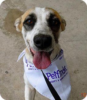 Basset Hound/Corgi Mix Dog for adoption in Von Ormy, Texas - Lilac