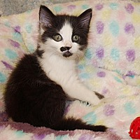 Domestic Longhair Kitten for adoption in Jackson, Mississippi - Charlie