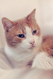 Domestic Shorthair Cat for adoption in Markham, Ontario - Mouse