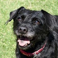 Cairn Terrier/Dachshund Mix Dog for adoption in Scottsdale, Arizona - Pepper