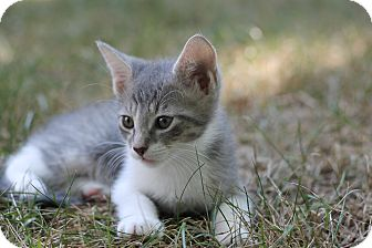 Domestic Shorthair Kitten for adoption in Monroe, North Carolina - Scout