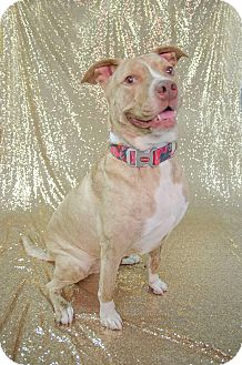 American Pit Bull Terrier/Labrador Retriever Mix Dog for adoption in Muskegon, Michigan - Nugget
