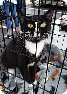 American Shorthair Cat for adoption in Hopkinsville, Kentucky - Esmeralda
