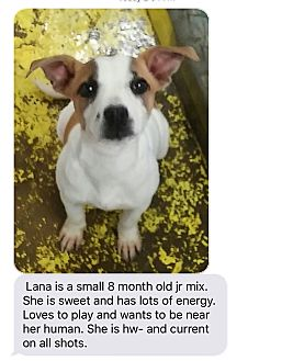 Jack Russell Terrier Mix Puppy for adoption in Patterson, New York - Lana