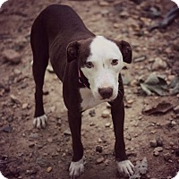 Adopt A Pet :: Ginger - Fredericksburg, VA