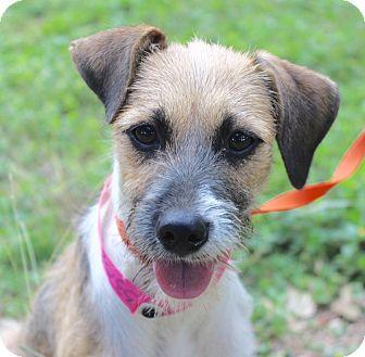 Terrier (Unknown Type, Small) Mix Dog for adoption in Monroeville, Pennsylvania - AMELIA