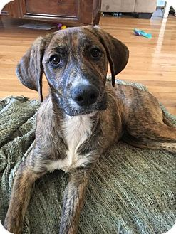 Black Mouth Cur/Boxer Mix Puppy for adoption in Seneca, South Carolina - Aspen $125