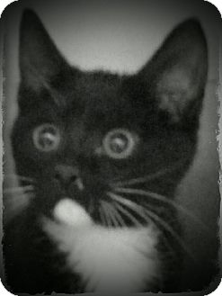 Domestic Shorthair Kitten for adoption in Pueblo West, Colorado - Collette