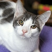 Adopt A Pet :: Greyson - Pacific Grove, CA