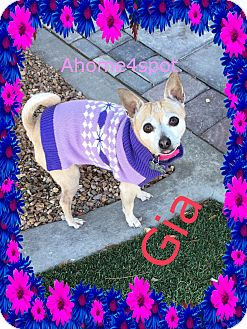 Chihuahua Mix Dog for adoption in Las Vegas, Nevada - Gia