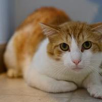 Adopt A Pet :: Thomas O'Mally - New Freedom, PA