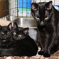 Domestic Shorthair Cat for adoption in Marietta, Ohio - Velvet & Kittens