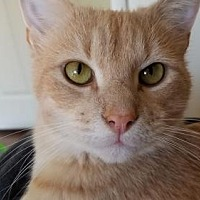 Domestic Shorthair Cat for adoption in Owings Mills, Maryland - Sammy (Guest)