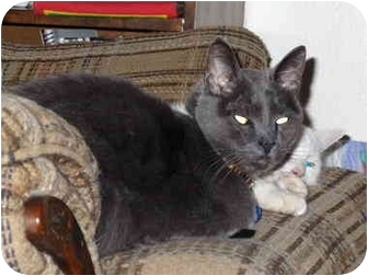 Domestic Shorthair Cat for adoption in Colorado Springs, Colorado - Chirp