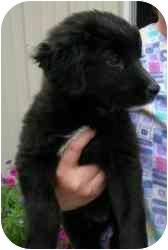 Labrador Retriever/Newfoundland Mix Puppy for adoption in Elwood, Illinois - Amber