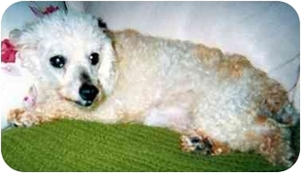 Poodle (Toy or Tea Cup) Mix Dog for adoption in Melbourne, Florida - CINDY LOU
