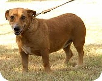 Basset Hound/Pit Bull Terrier Mix Dog for adoption in Norman, Oklahoma - Sylva