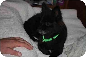 Pomeranian Dog for adoption in Prince William County, Virginia - Pepper