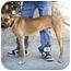 Photo 3 - Boxer Mix Dog for adoption in Lake Arrowhead, California - Bones