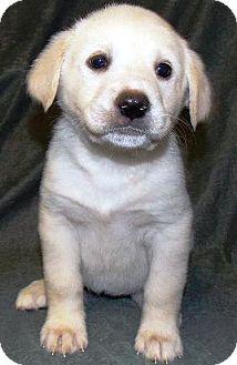Golden Retriever/Labrador Retriever Mix Puppy for adoption in Oswego, Illinois - I'M ADPTD Hrtb Clooney Frangel