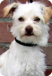 Terrier (Unknown Type, Small) Mix Dog for adoption in Los Angeles, California - Poppy *VIDEO*