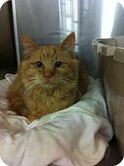 Maine Coon Kitten for adoption in Pittstown, New Jersey - Bear