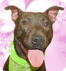 American Pit Bull Terrier Mix Dog for adoption in Cincinnati, Ohio - Smokey