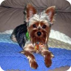 Yorkie, Yorkshire Terrier Dog for adoption in Spring Hill, Florida - Max