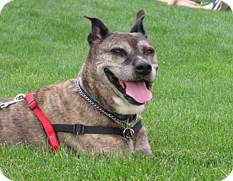 Boxer/Pit Bull Terrier Mix Dog for adoption in Meridian, Idaho - Hannah